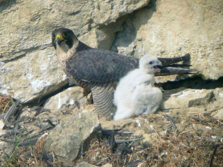 Wanderfalke Weibchen mit Nestling