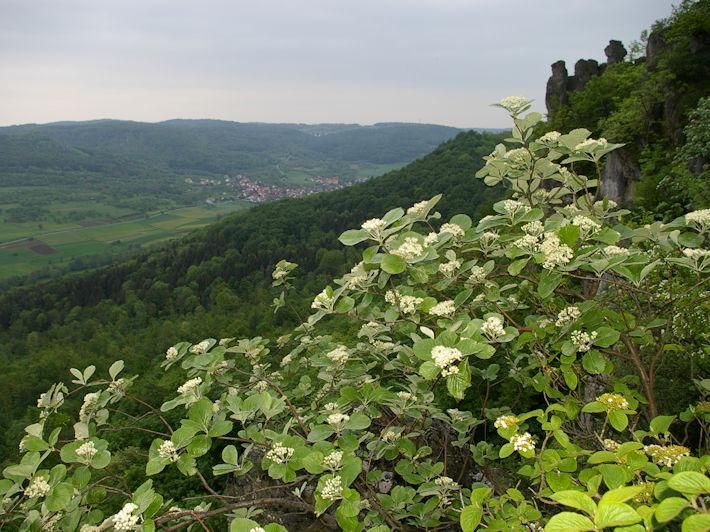 Hügel-Mehlbeere