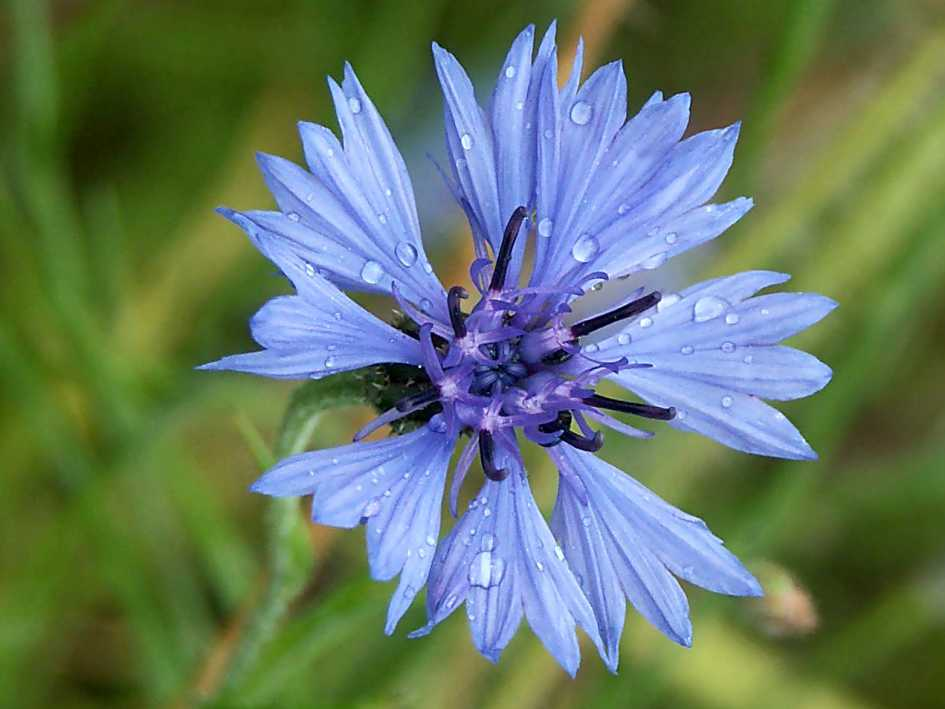 Kornblume im Naturpark Fränkische Schweiz - Frankenjura