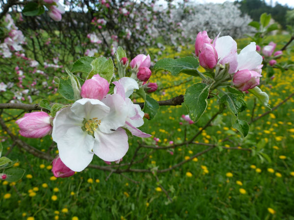 Apfelblüte im Naturpark Fränkische Schweiz - Veldensteiner Forst