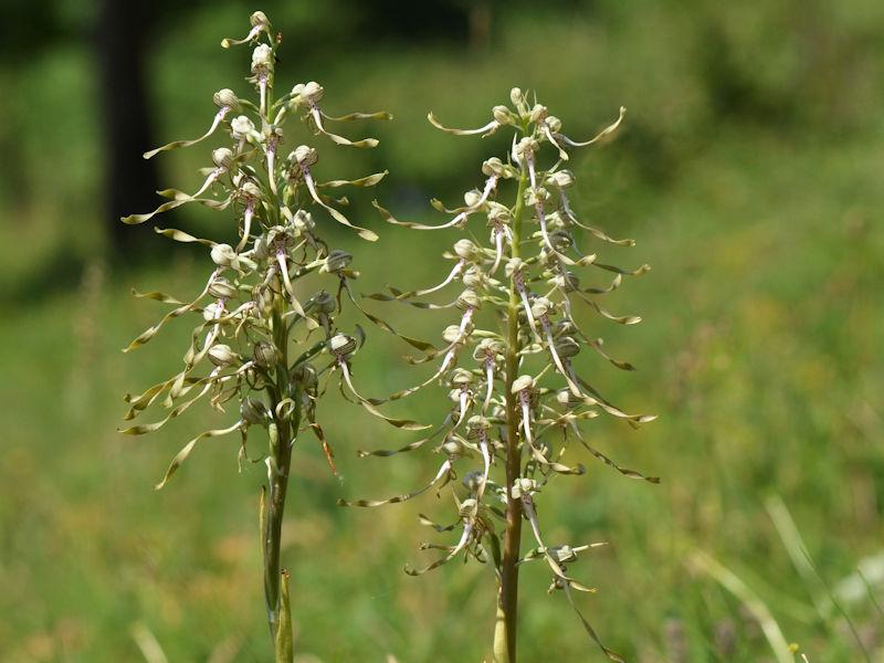 Orchideenart Bocks-Riemenzung (Himantoglossum hircinium)