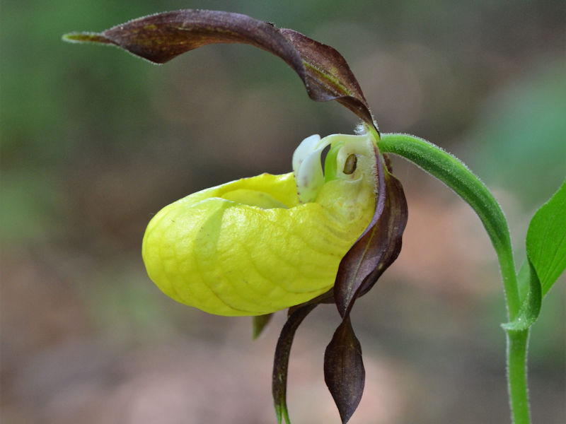 Orchideenart Frauenschuh (Cypripedium)