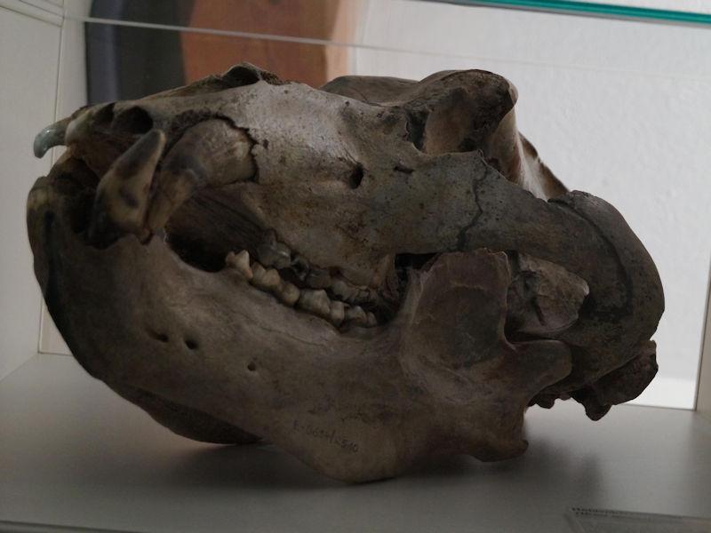 Schädel eines Höhlenbären