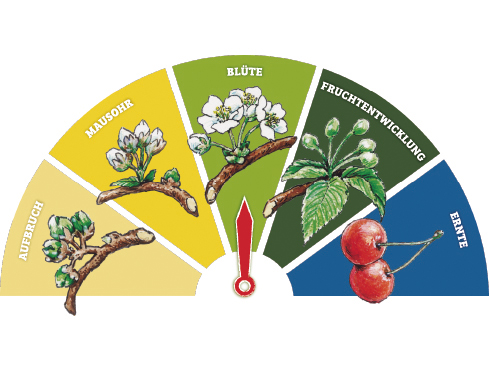 Das Blütenbarometer zeigt die Stadien der Kirsche an - von der Blüte bis zur Ernte.